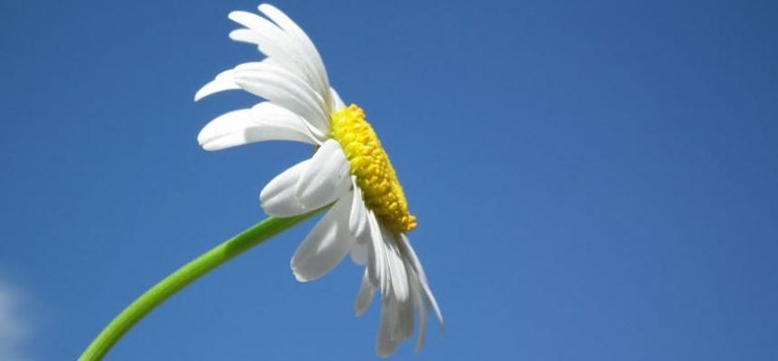 white daisy blue sky